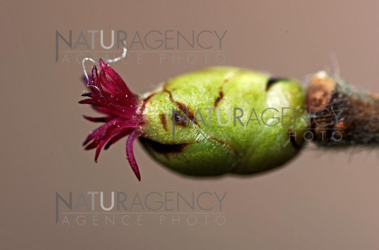 Naturagency Fleur Femelle De Noisetier Ou Coudrier Anglais